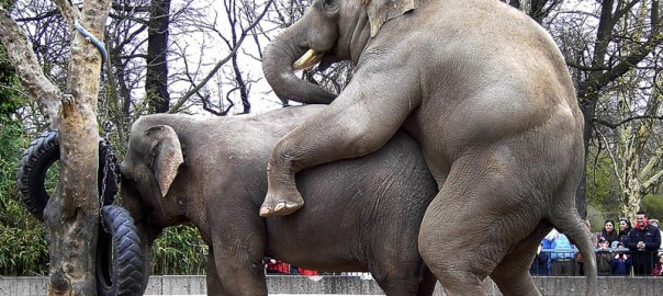 elephant-sex-vedeo