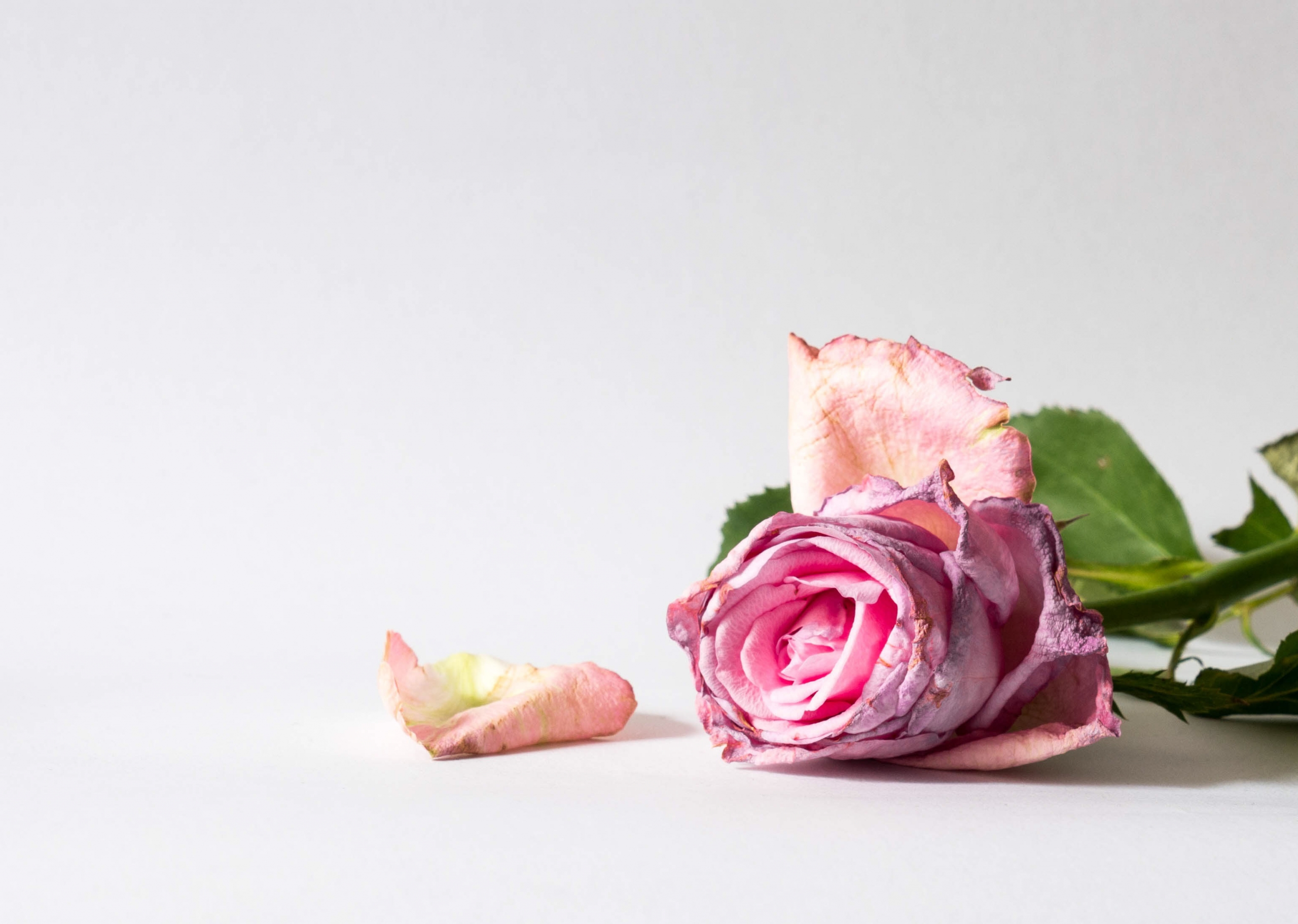 pink-flower-dying-scaled.jpg