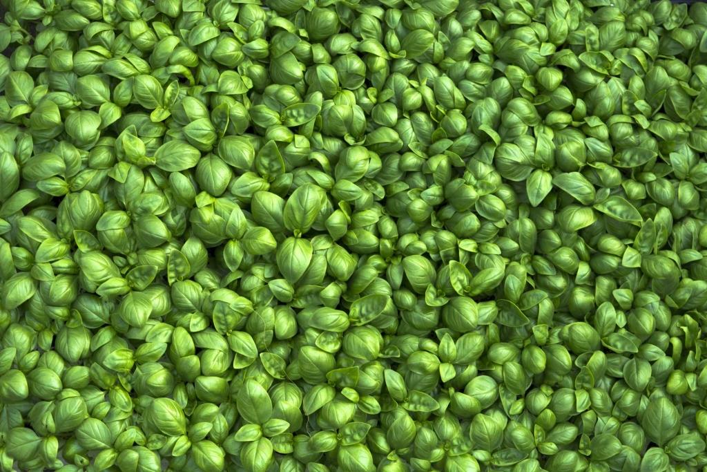 basil-plant-1024x683.jpg